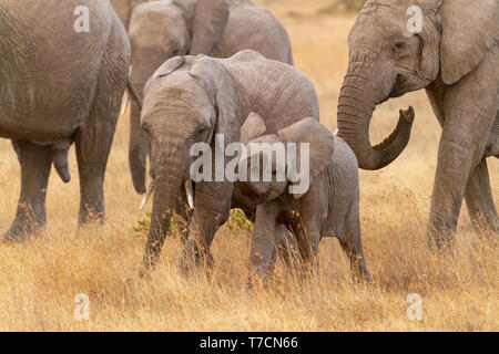 Two cute baby elephant calves Loxodonta africana curling trunk in dry golden grass Ol Pejeta Conservancy Kenya East Africa temporal gland streaming - Stock Photo