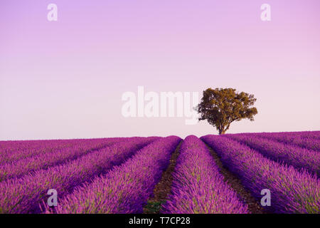 Lonely oak tree on blooming lavender field in Valensole Provence France at sunrise - Stock Photo