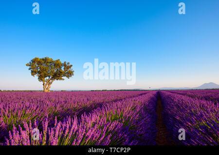 Lavender field on Valensole plateau France - Stock Photo
