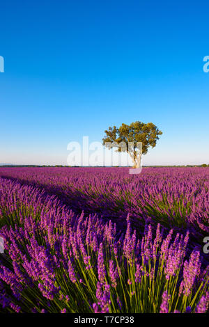Lavender field at morning Provence France - Stock Photo