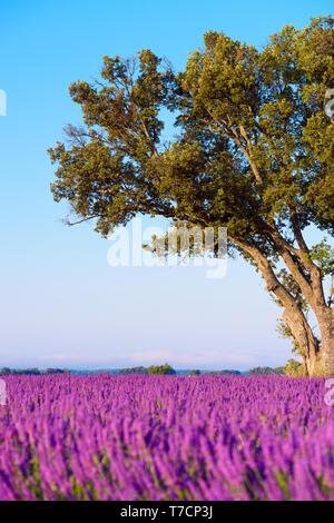 Oak tree on lavender field in Provence France - Stock Photo