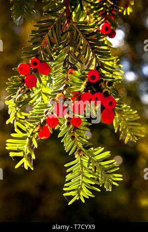 Poisenous Yew berries hanging from a Yew tree. - Stock Photo