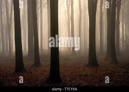 English Beech woods in early morning mist in winter. - Stock Photo