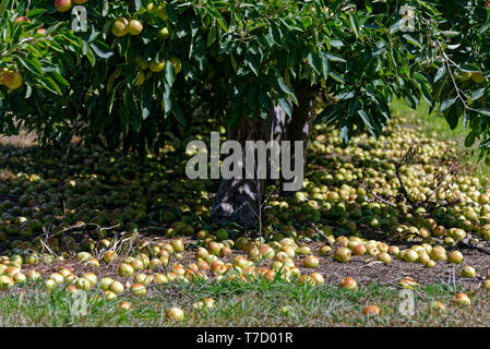 Photo illustrating the waste in modern orcharding, apples lying on the ground going rotten - Stock Photo