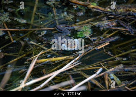 Close view green frog makes mating call in water - Stock Photo