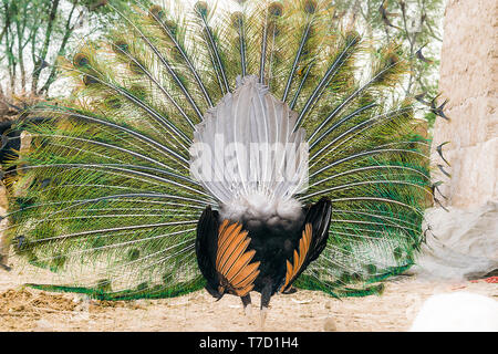 closeup of dancing peacock showing its beautiful feathers,rear view. - Stock Photo