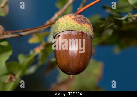 Acorn, (Quercus) - Stock Photo
