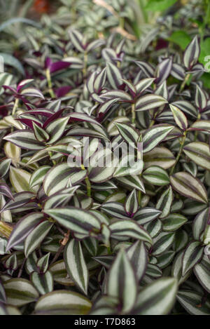 Wandering Jew (Spiderwort) Plant leaves close up. - Stock Photo