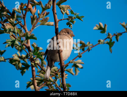 house sparrow, Western Pomerania Lagoon Area National Park, Fischland-Darss-Zingst, Mecklenburg-Western Pomerania, Germany, (Passer domesticus) - Stock Photo