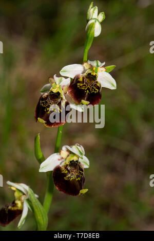 late spider-orchid, (Ophrys holoserica) - Stock Photo