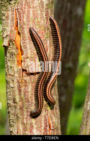 striped millipedes, (Ommatoiulus sabulosus) - Stock Photo