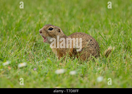 european ground squirrel, (Spermophilus citellus) - Stock Photo