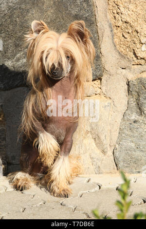 Fantastic Chinese Crested Dog in front of stone wall - Stock Photo
