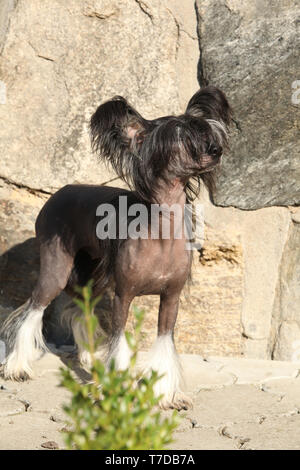 Nice Chinese Crested Dog in front of stone wall looking at you - Stock Photo