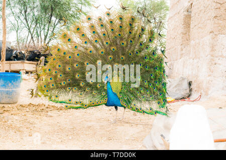 closeup of dancing peacock showing its beautiful feathers,front view. - Stock Photo
