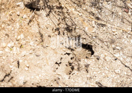 black ants working at the entrance of their anthill to get food - Stock Photo