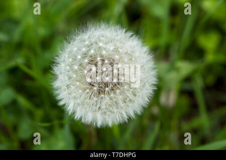 Dandelion seeds. Blossom time. Green grass. Spring flowers in wild nature. - Stock Photo