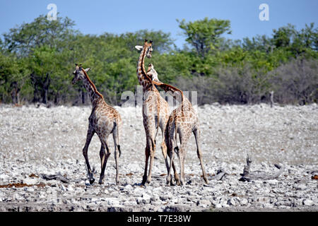 Semi-juvenile Giraffe calves wrestle in the Etosha National Park witheinander, beating themselves like adult animals in the rut with their heads and helses, taken on 05.03.2019. The Giraffe (giraffa) belongs to the pairhorses and with a weight of up to 1600 kg and a body height of up to six meters (bulls) is the highest land-living animal dar. Despite their length, the giraffe's cervical spine has only seven accordingly large vertebrae, whereby the neck is held by only one tendon. Today, giraffes are only found in savanna areas south of the Sahara, swampy versusden are generally avoided. Photo - Stock Photo