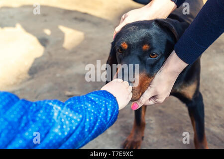 Baby little kid petting young german hunting terrier dog outdoors on bright sunny day. Purebred adorable Jagdterrier puppy with female owner meeting k - Stock Photo
