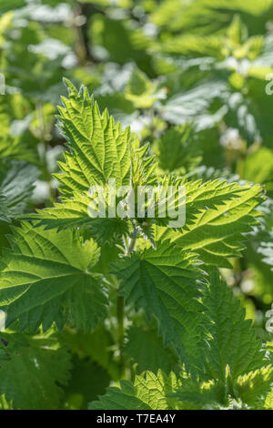 Patch of backlit nettle leaves in morning sunlight. Metaphor painful, foraged wild foods. - Stock Photo