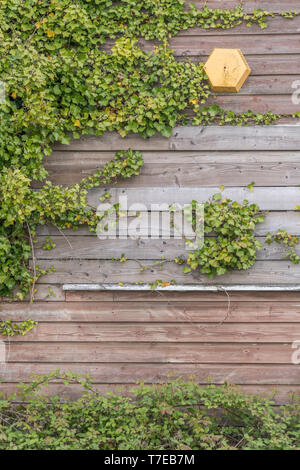 Climbing ivy / Common Ivy - Hedera helix - growing on the side of a wooden shed. - Stock Photo
