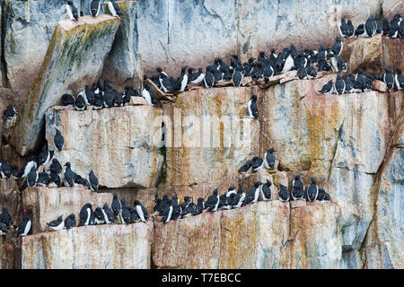Thick-billed Murres (Uria lomvia) colony, Alkefjellet bird cliff, Hinlopen Strait, Spitsbergen Island, Svalbard archipelago, Norway - Stock Photo