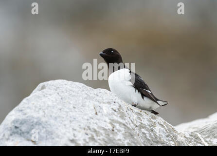 Thick-billed Murre (Uria lomvia) or Brunnich's guillemot on rock, Hinlopen Strait, Spitsbergen Island, Svalbard archipelago, Norway - Stock Photo
