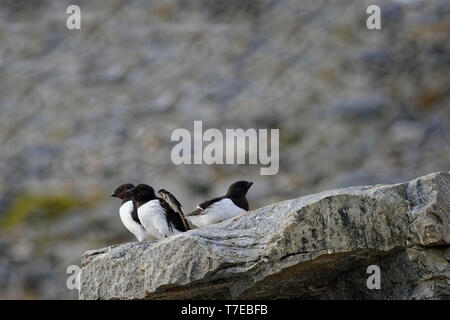 Thick-billed Murres (Uria lomvia) or Brunnich's guillemots on rock, Hinlopen Strait, Spitsbergen Island, Svalbard archipelago, Norway - Stock Photo