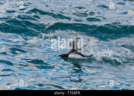 Thick-billed Murre (Uria lomvia) or Brunnich's guillemot talking off from water, Hinlopen Strait, Spitsbergen Island, Svalbard archipelago, Norway - Stock Photo