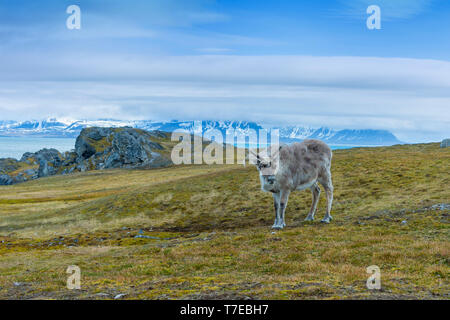 Svalbard Reindeer (Rangifer tarandus platyrhynchus) in the toundra, Spitsbergen Island, Svalbard archipelago, Norway - Stock Photo
