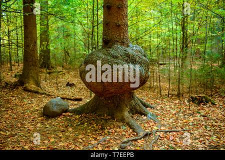 Baumkrebs, Auswuchs, Nationalpark Saechsische Schweiz, Sachsen, Deutschland - Stock Photo