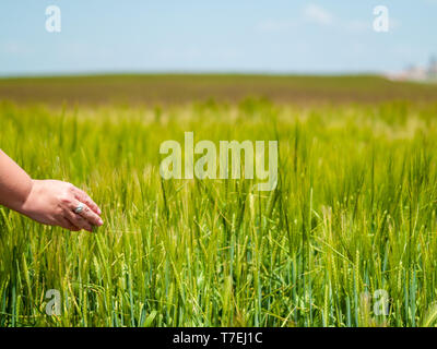 Unrecognizable person playing with his hand the plants in a crop field in spring barley - Stock Photo