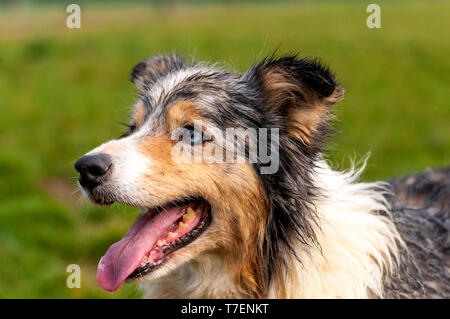 Portrait of a beautiful border collie dog in a green environment on a spring day. - Stock Photo