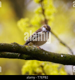 Female Chaffinch collecting - Stock Photo