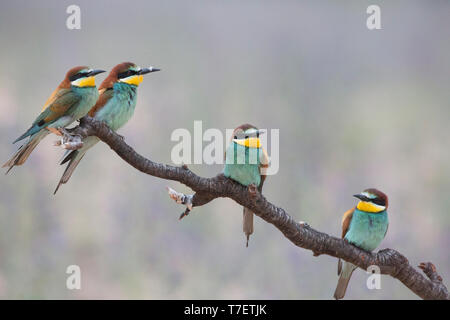 Four European bee eaters (Merops apiaster) perched on branch in breeding colony. - Stock Photo