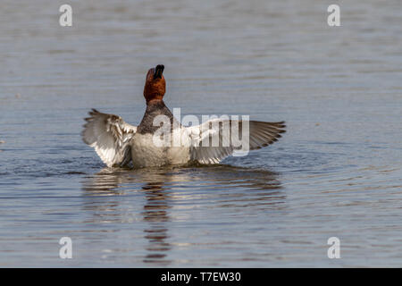 Common Pochard (Aythya ferina), adult male, flapping its wings in the water - Stock Photo