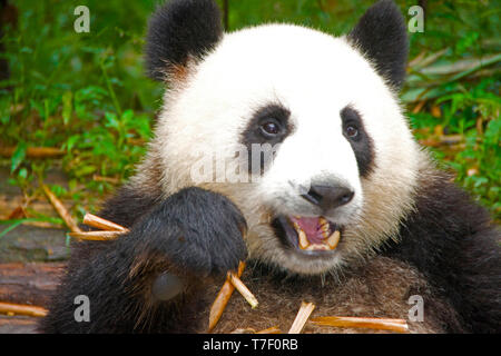 Giant panda eatting bamboo stalks in Chengdu, Sichuan, China. - Stock Photo