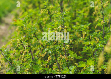 Blossoming black currant. Close-up of a bush, flowers, leaves of blackcurrant. - Stock Photo