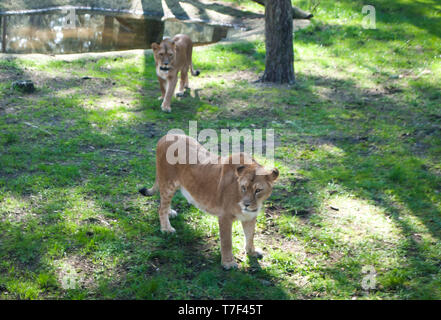 Two lions walking between the trees in the zoo, Serengeti-park, Germany - Stock Photo
