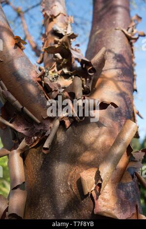 A Paperbark Maple tree - Acer griseum - at Alton Baker Park in Eugene, Oregon, USA. - Stock Photo