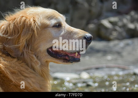 Close-up portrait of a smiling older Golden Retriever dog happily enjoying a sunny day on a beach near the water.