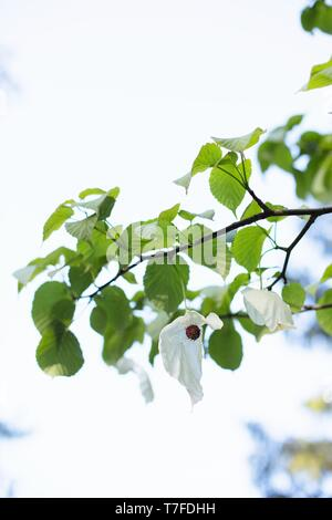 A dove tree - Davidia involucrata - at Hendricks park in Eugene, Oregon, USA. - Stock Photo