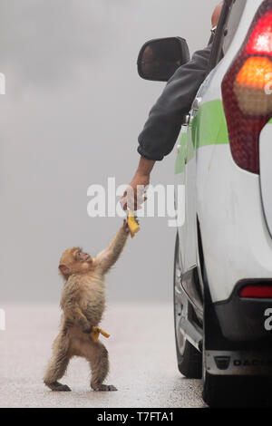 Barbary Macaque (Macaca sylvanus), cub taking food from a human - Stock Photo