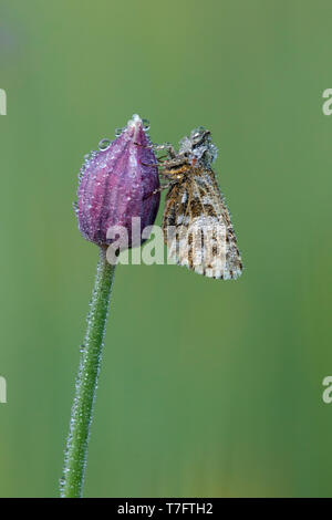 Dew covered Grizzled Skipper (Pyrgus malvae) resting on a small purple flower in Mercantour in France, against a bright green background. - Stock Photo