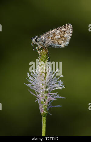 Dew covered Grizzled Skipper (Pyrgus malvae) resting on a small purple flower in Mercantour in France, against a dark green background. - Stock Photo