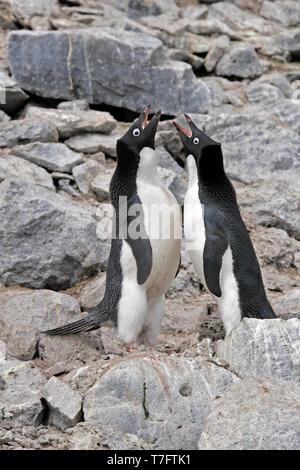 Two Adelie penguins (Pygoscelis adeliae) displaying on Antarctica. - Stock Photo