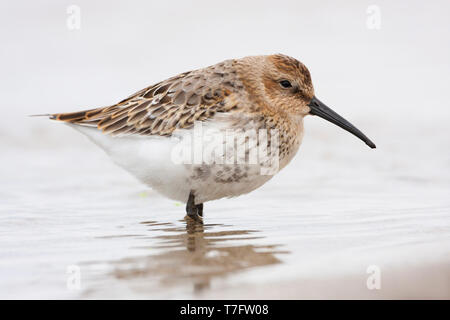 Dunlin (Calidris alpina), first winter individual standing on the shore - Stock Photo