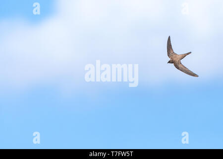 Alpine Swift (Apus melba) flying over Rabbit Island off Petra on the Greek island of Lesvos. - Stock Photo