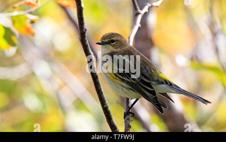 Myrtle Warbler (Setophaga coronata) during autumn migration on the east coast of the United States. - Stock Photo