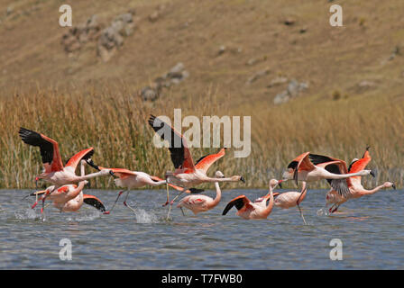 Flock of the rare Andean flamingo (Phoenicoparrus andinus) in an Andean lake in Peru. Taking off. - Stock Photo
